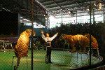 Зоопарк тигров Срирача (Sriracha)